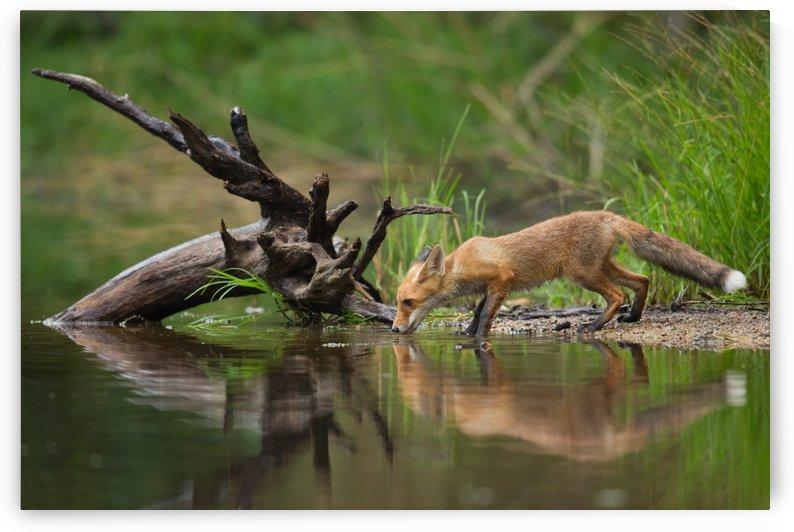 Red Fox by Milan Zygmunt  by 1x