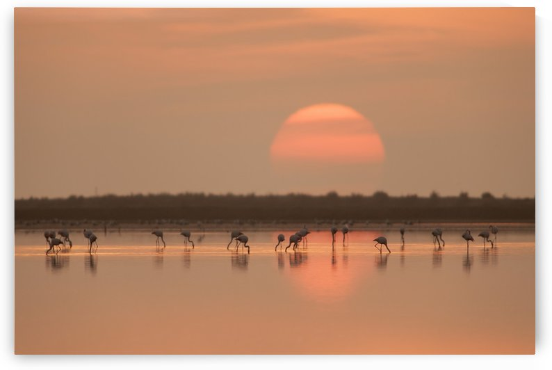 Flamingos at Sunrise by 1x