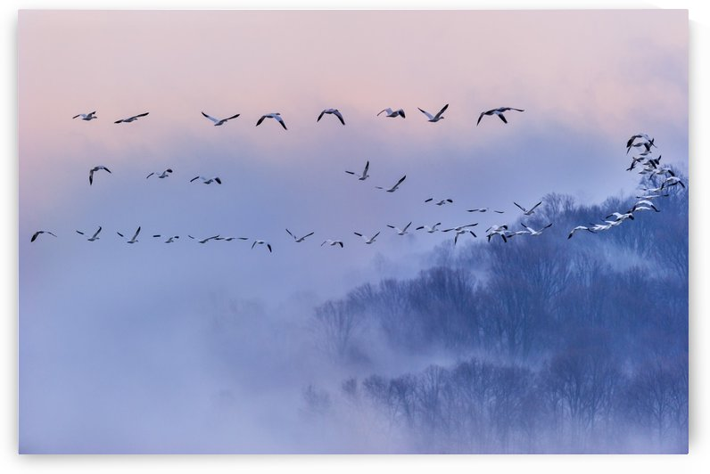 Snow Geese by 1x