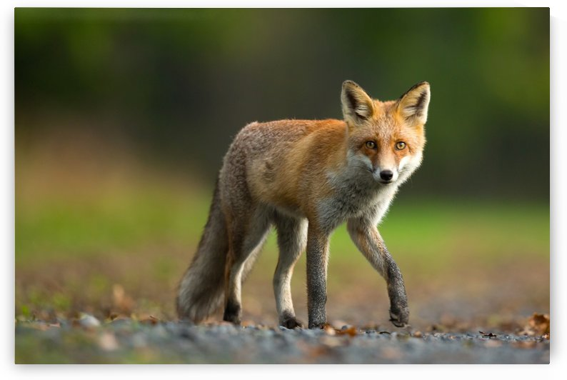 Red Fox by Milan Zygmunt  by 1x