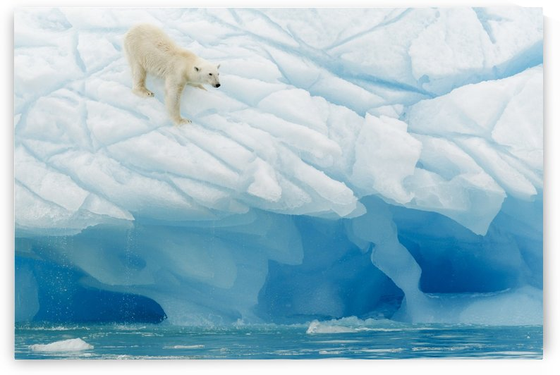Polar Bear by 1x