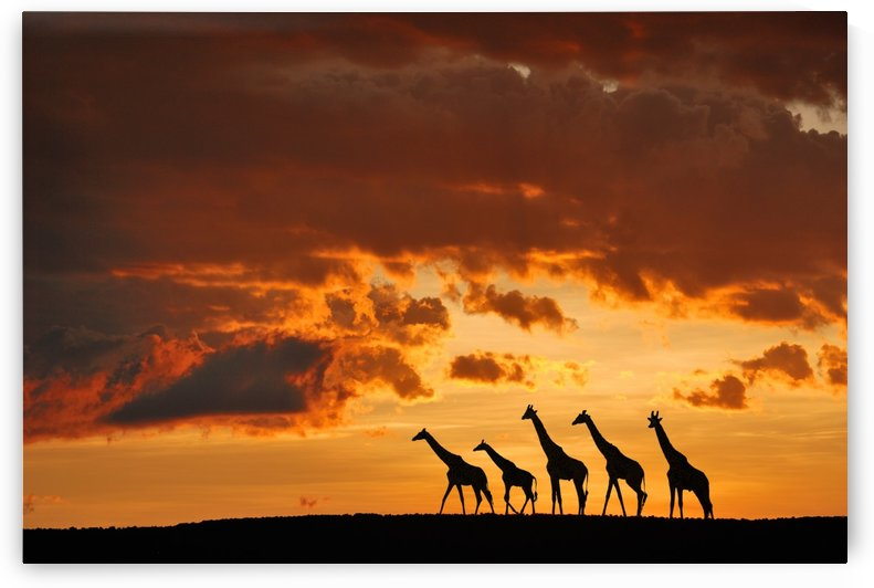 Five Giraffes by 1x