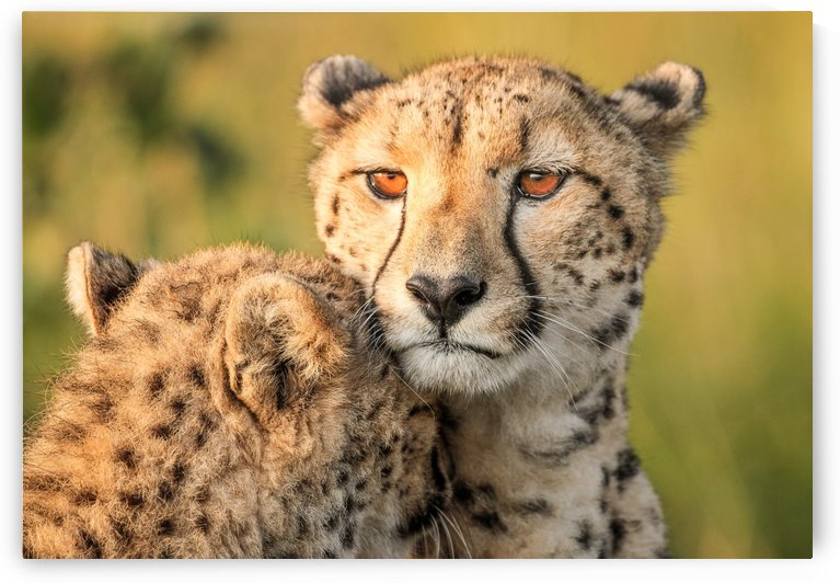 Cheetah eyes by 1x