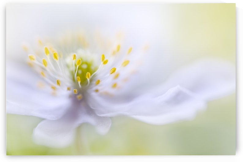 Anemone Beauty by 1x