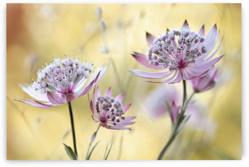 Astrantia by 1x