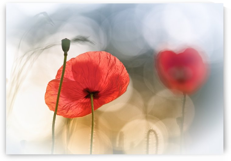 Morning Poppies by 1x