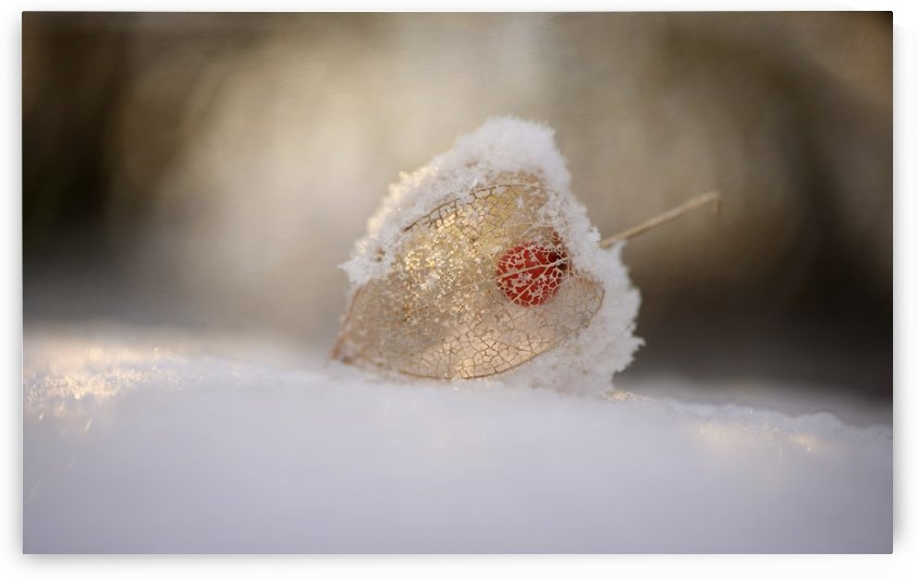 Physalis in Snow by 1x