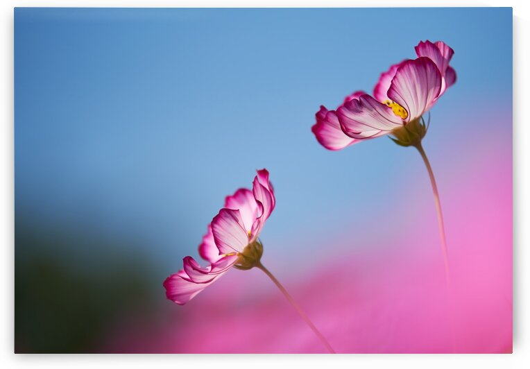 Pink flowers with blue sky on a sunny day by Krit of Studio OMG