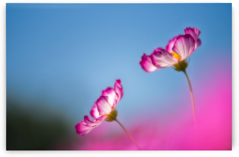 Pink flowers with blue sky on a sunny day - soft by Krit of Studio OMG