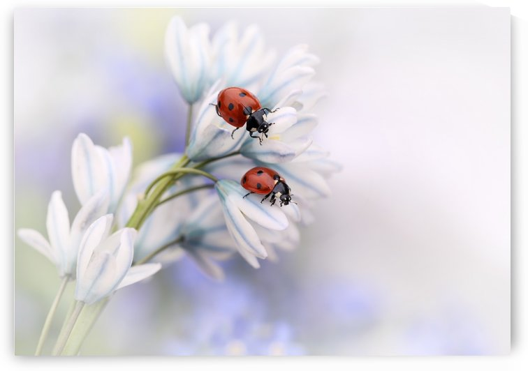 Ladybirds by 1x