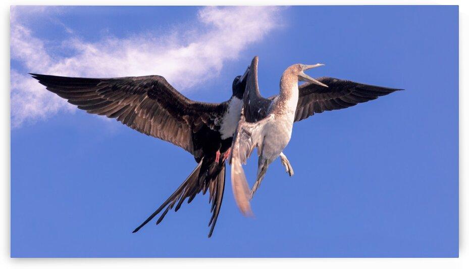 Bird Fight by Nicholas
