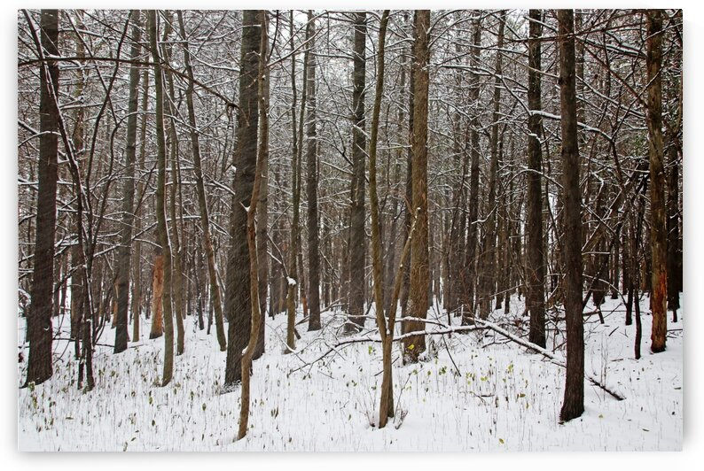 Snowing In The Forest by Deb Oppermann