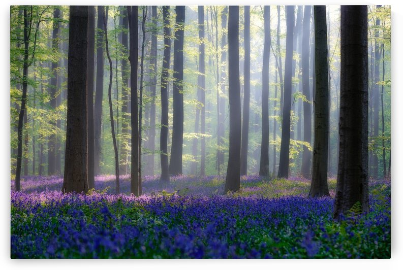 Bluebells by 1x