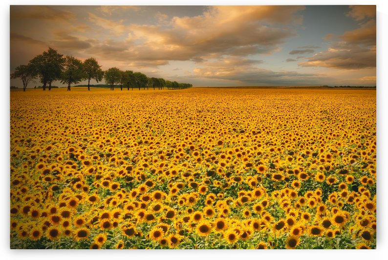 Sunflowers by 1x