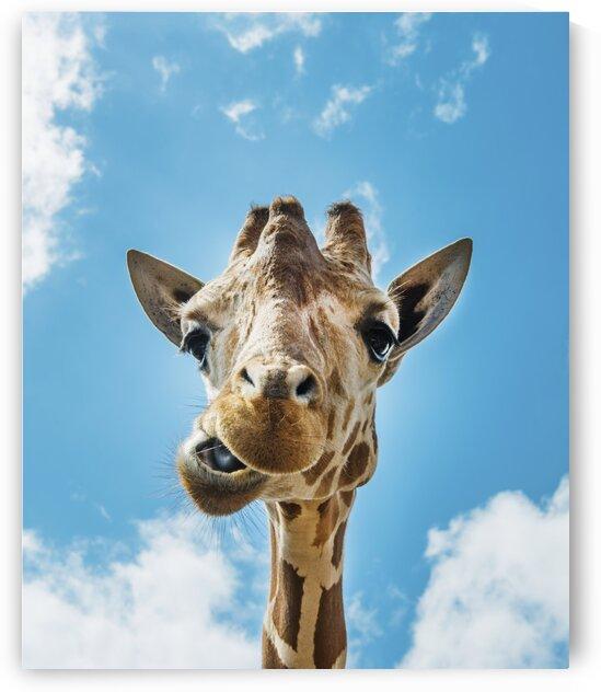 An up close look at a giraffe 2 by Tony Tudor