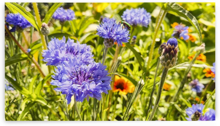 Flowering garden flowers with vibrant colors. by Mama Gipsy