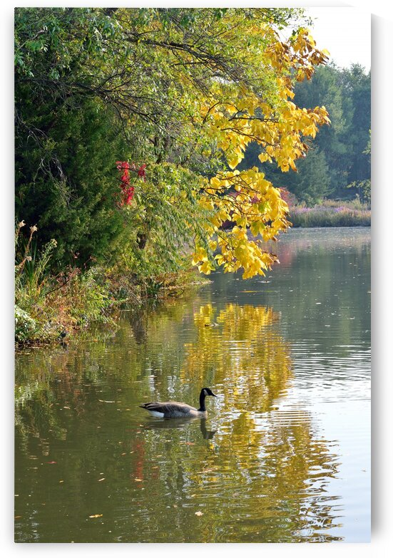 Canadian Goose Autumn Pond Reflections by Michelle K Wood