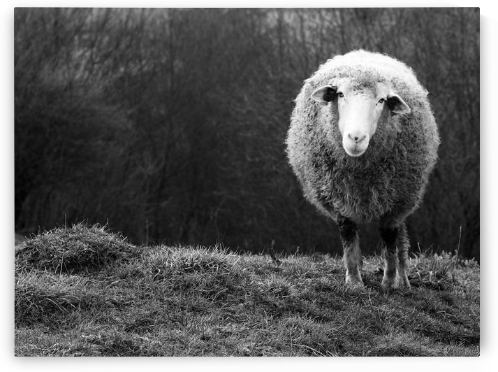 Wondering sheep by Ajven   by 1x