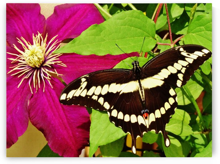 Rosemoor and Giant Swallowtail Butterfly by by Tara