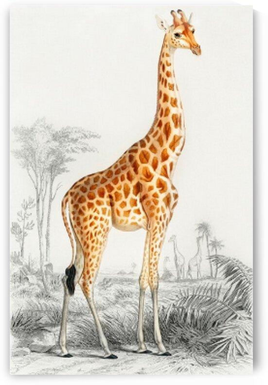 Giraffe Giraffa camelopardalis illustration wall art print and poster. by Mutlu Topuz
