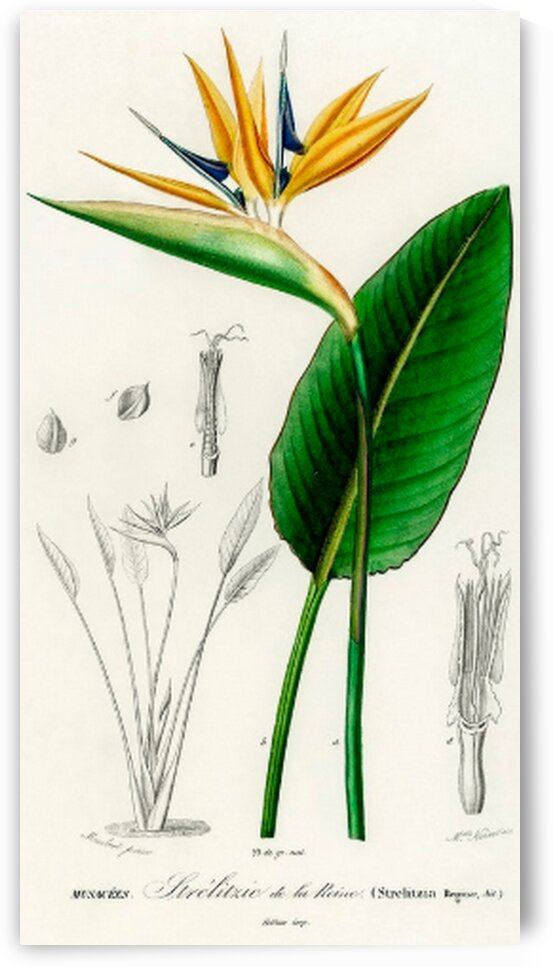 Bird of paradise Strelitzia Reginae illustrated by Mutlu Topuz