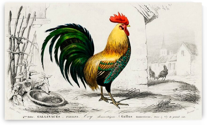 Cock illustrated by Mutlu Topuz