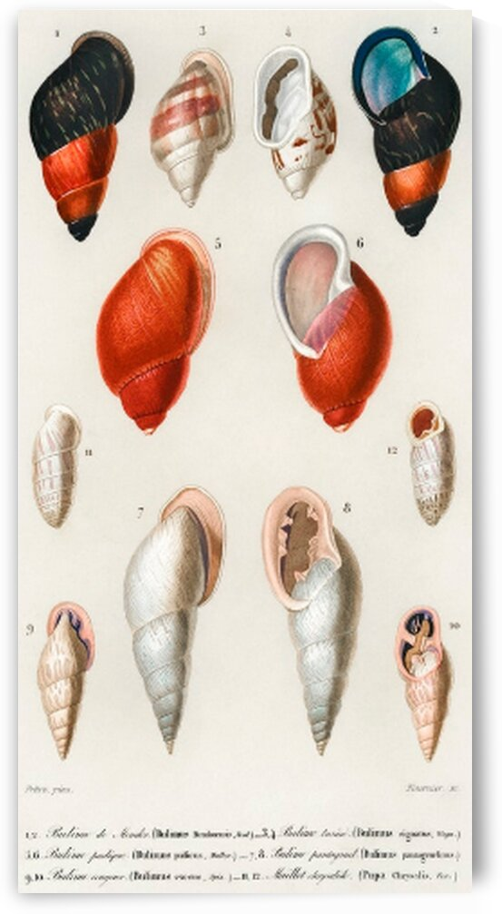 Different types of mollusks illustrated by Mutlu Topuz