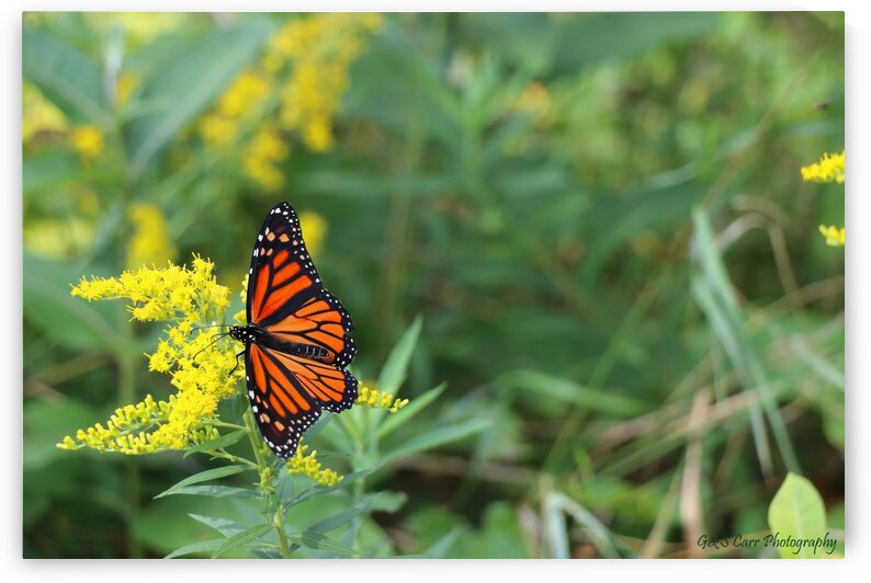Monarch butterfly  by G&S Carr Photography