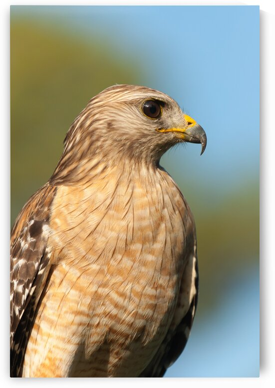 Red Shouldered Hawk 0663 by Rob Clements