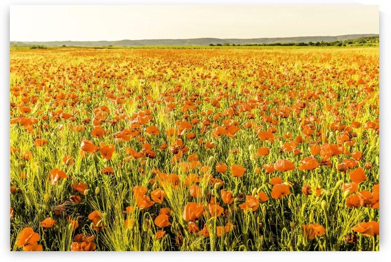 Poppy field in Provence by Daniel Ouellette