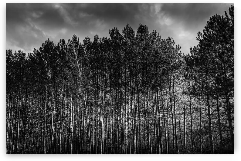 Pine forest at sunset by Daniel Ouellette