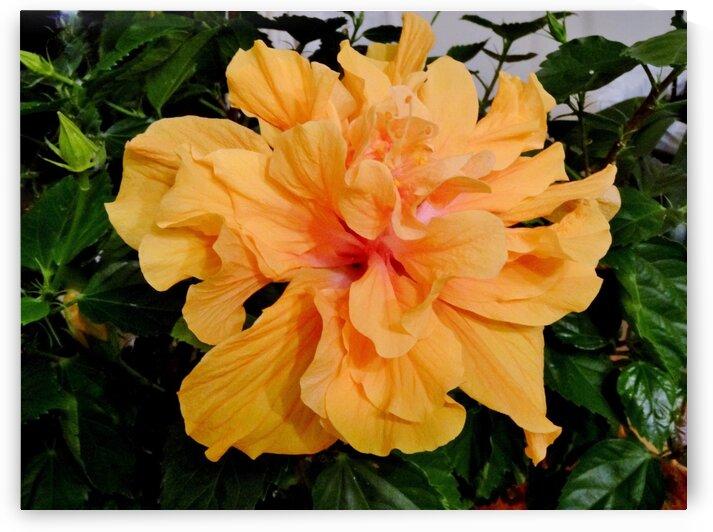 Peach Hibiscus by by Tara