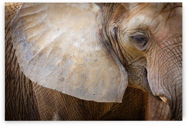 Elephant Portrait  ap 1947 by Artistic Photography