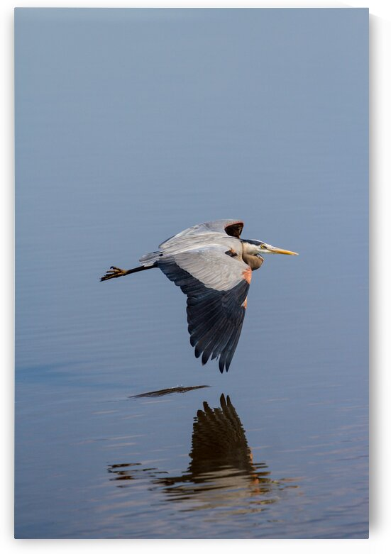 Great Blue Heron ap 1771 by Artistic Photography