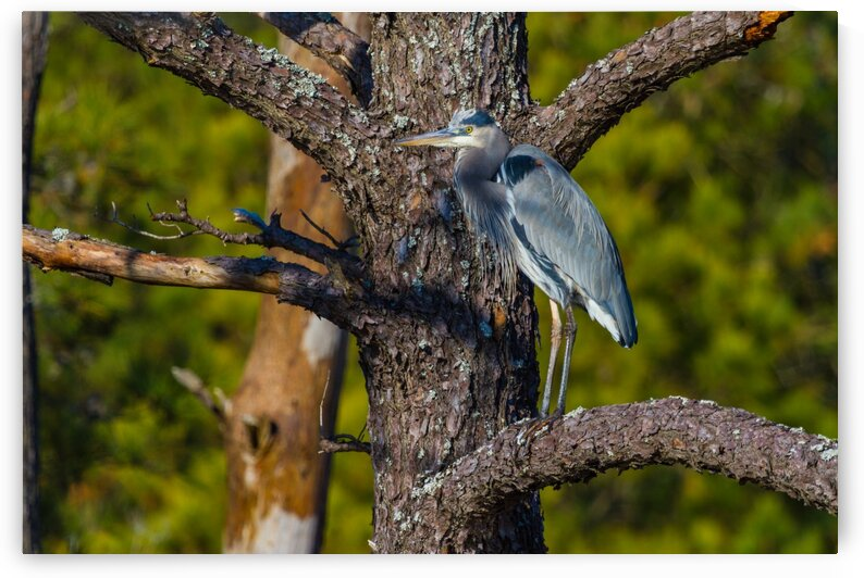 Great Blue Heron ap 1847 by Artistic Photography