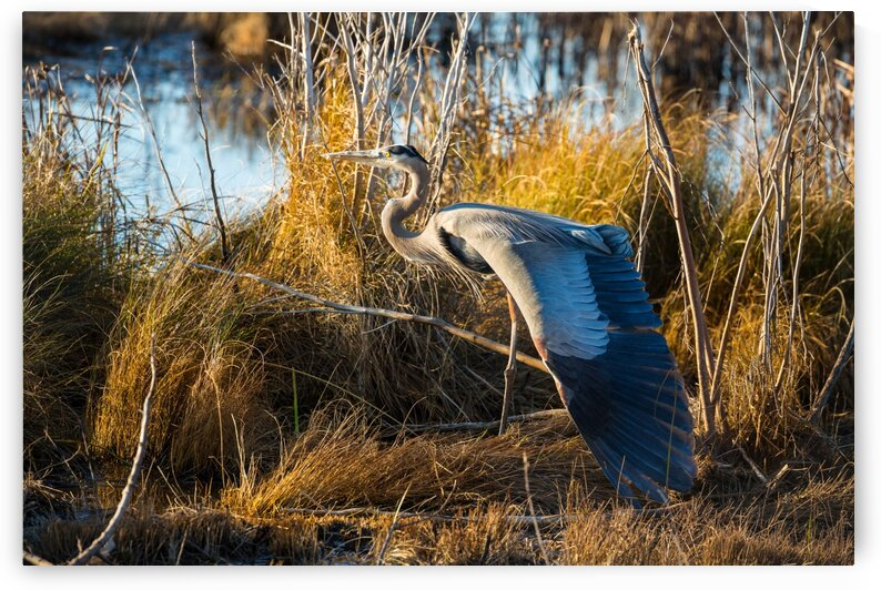 Great Blue Heron ap 2137 by Artistic Photography