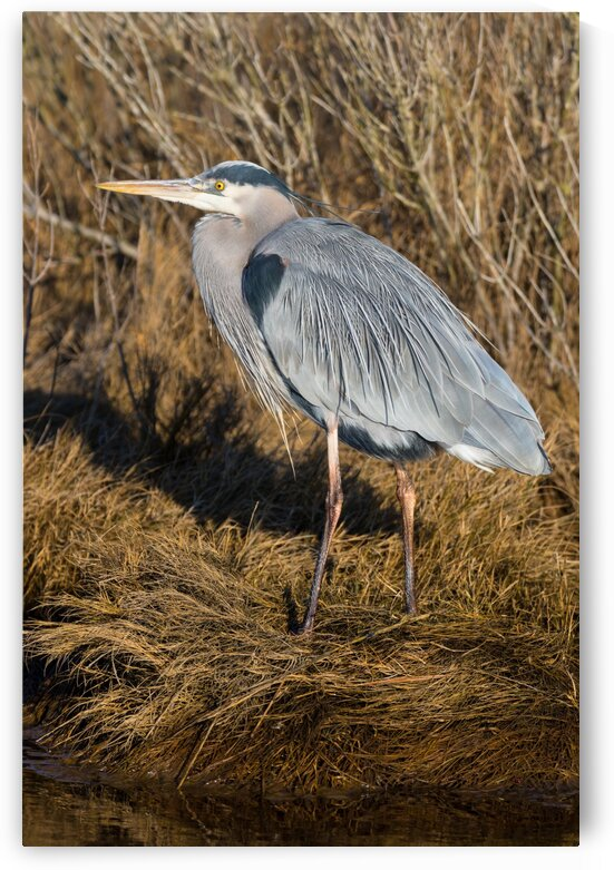 Great Blue Heron ap 2741 by Artistic Photography
