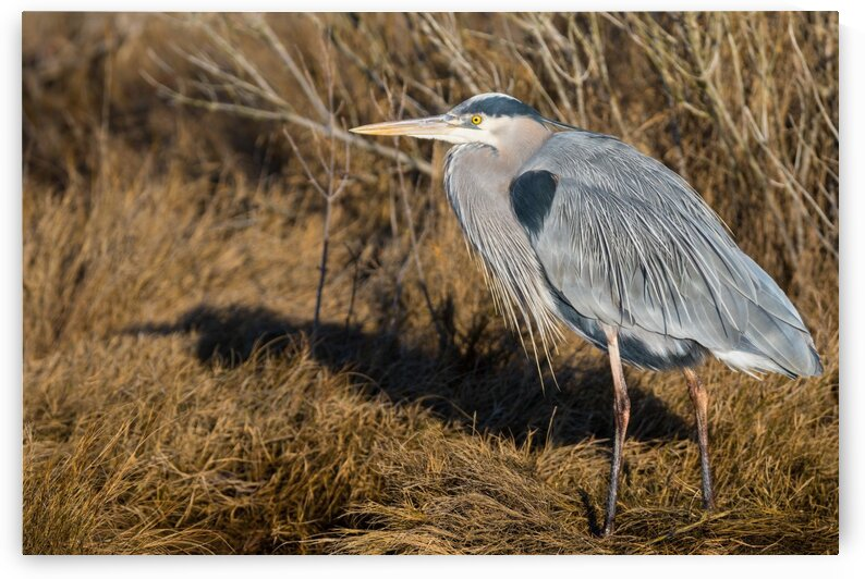 Great Blue Heron ap 2742 by Artistic Photography