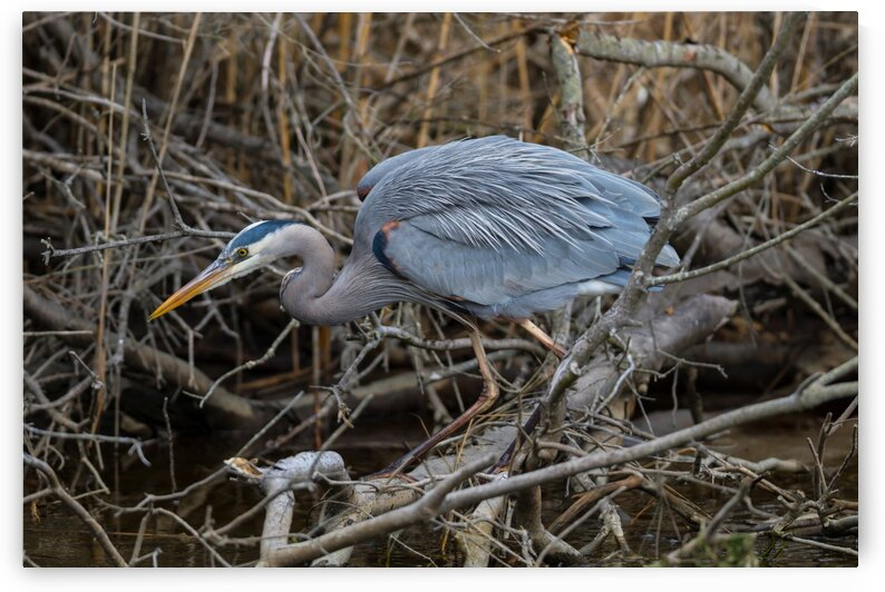 Great Blue Heron ap 2747 by Artistic Photography