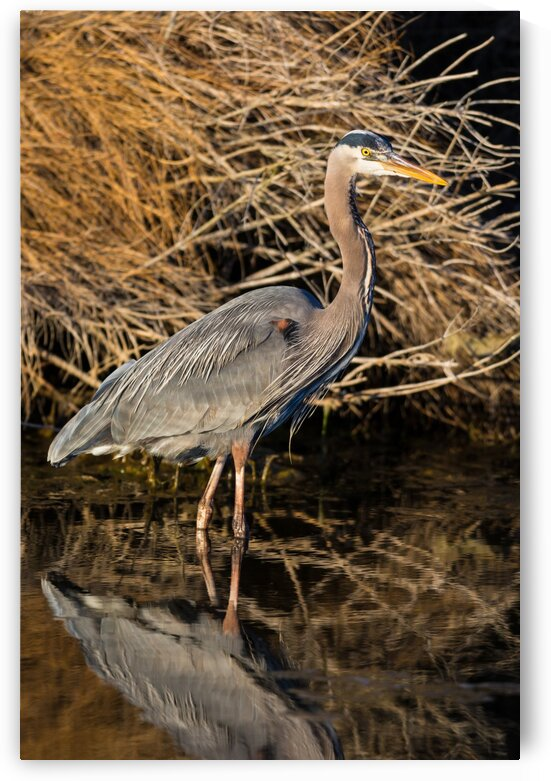 Great Blue Heron ap 2842 by Artistic Photography