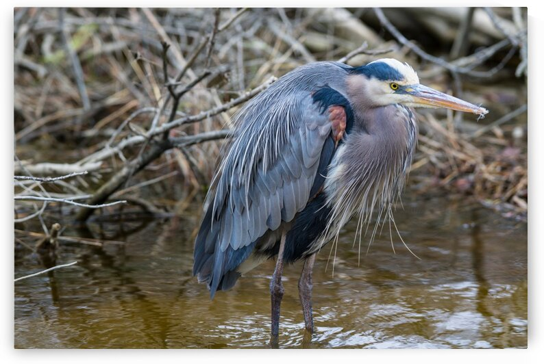 Great Blue Heron ap 2809 by Artistic Photography