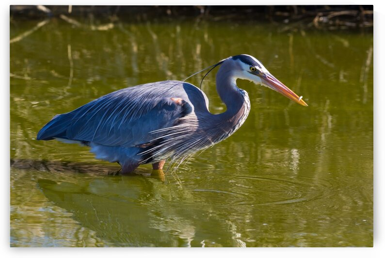 Great Blue Heron ap 2830 by Artistic Photography