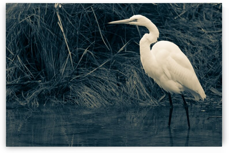 Great White Egret ap 1839 B&W by Artistic Photography