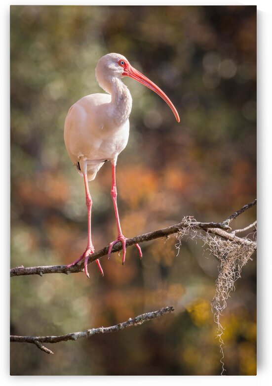 White Ibis ap 2082 by Artistic Photography