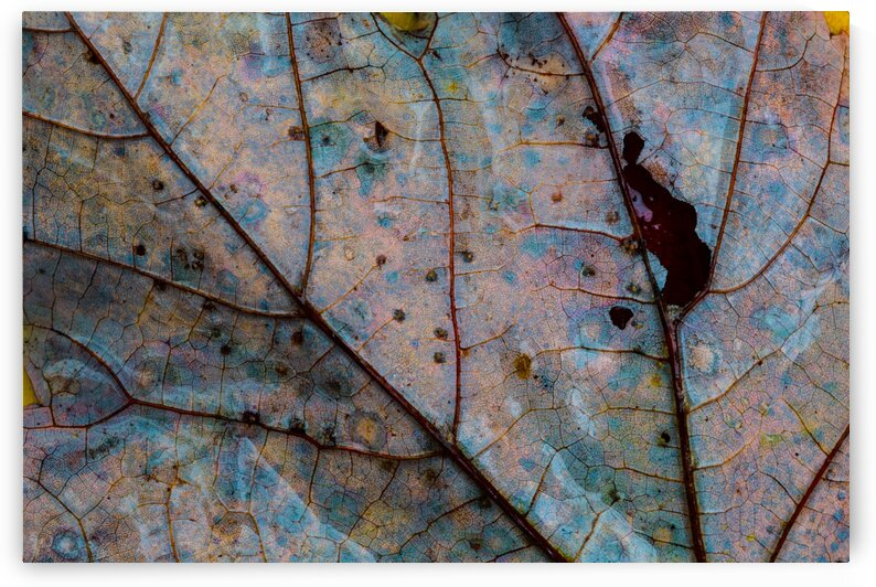 Maple Leaf ap 1948 by Artistic Photography