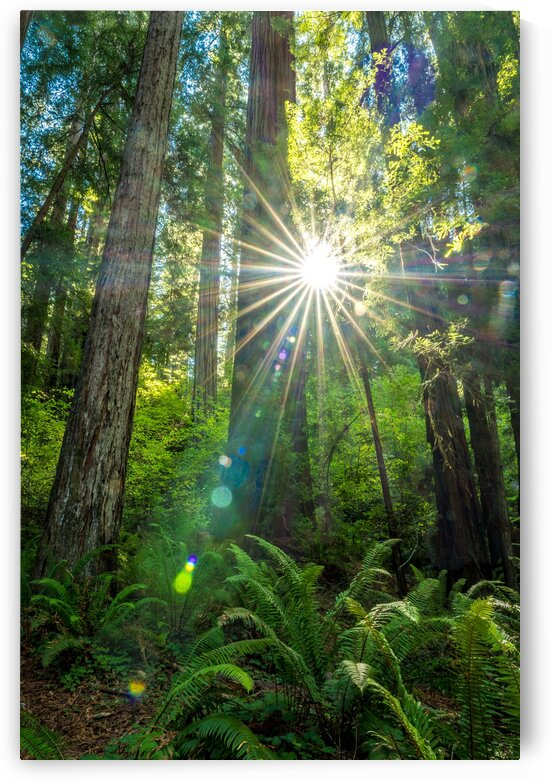 Redwoods CA 01 by Sebastian Dietl