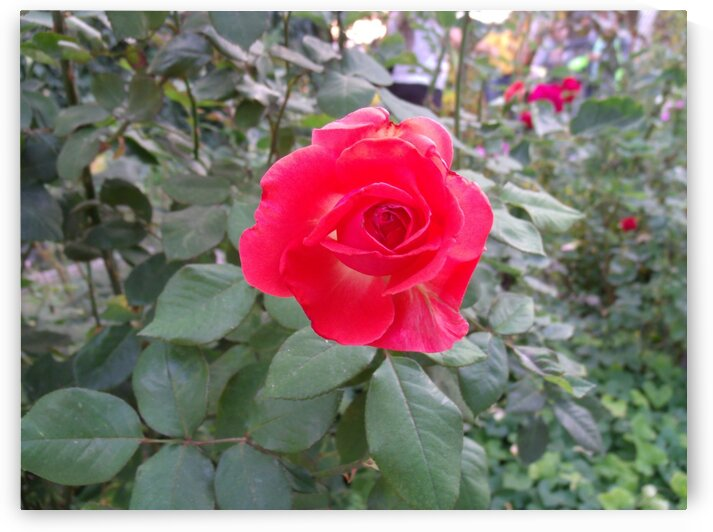 A Red Rose 2 by Sherrie Larch
