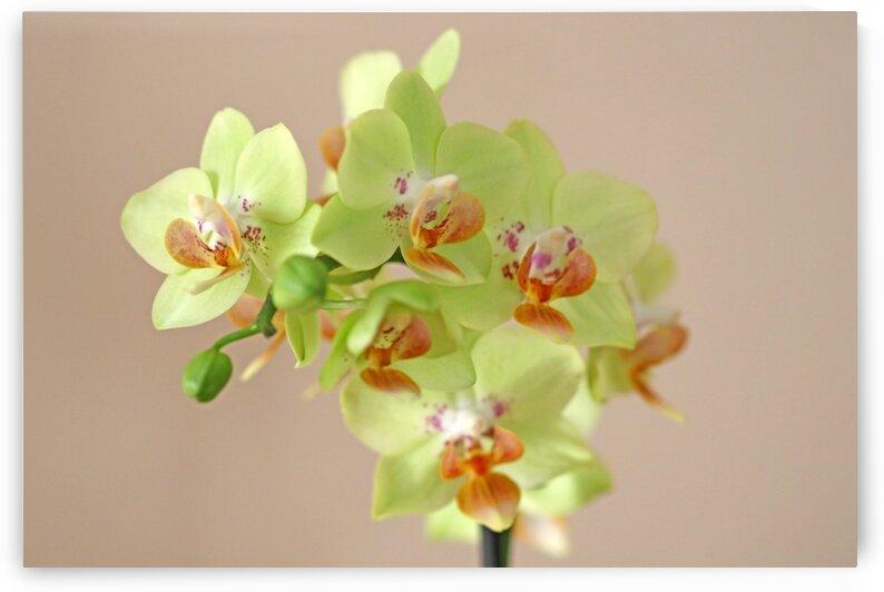 Lemon Lime Orchid by Deb Oppermann