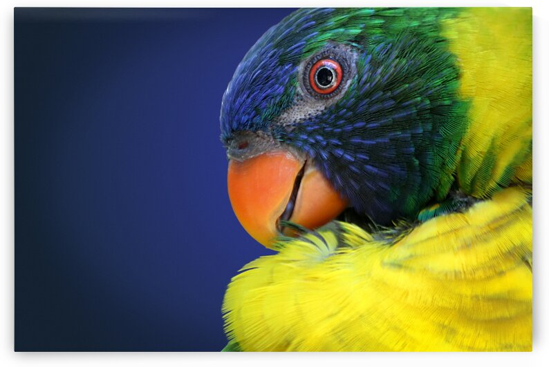 Rainbow Lorikeet Photographic Portrait 3x2 by Studio Dalio