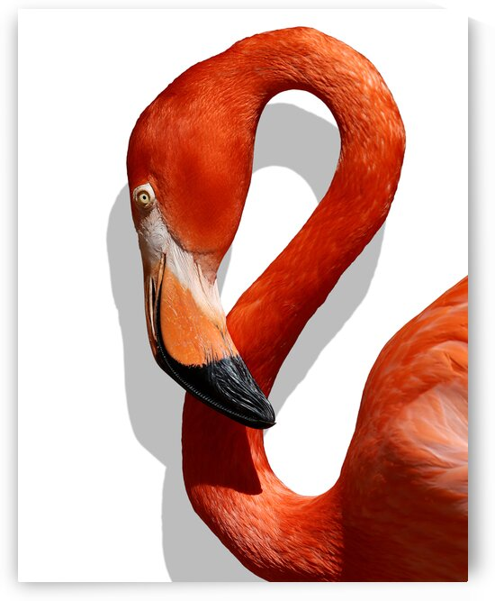 Caribbean Flamingo Left Profile on White 11x14 by Studio Dalio